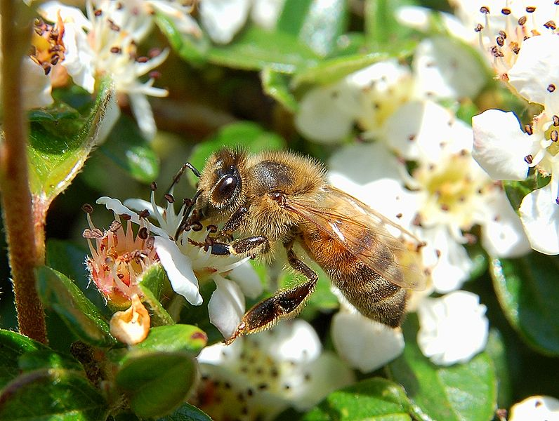 796px-Apis_mellifera_Luc_Viatour [Bee Collecting Honey]